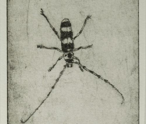 Alder Boring Beetle at 850 px
